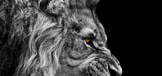Angry lion wallpaper